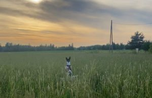Amerikankarvatonterrieri Rauha pomppii pellolla kohti auringonlaskua
